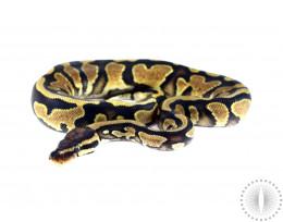 Yellow Belly Het Albino Ball Python