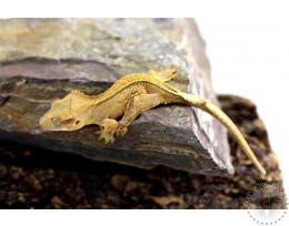 Cream Tiger Pinstripe Crested Gecko