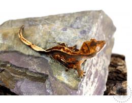Chocolate Harlequin Pinstripe Crested Gecko