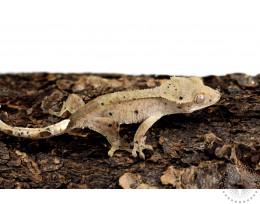 Dalmatian Crested Gecko