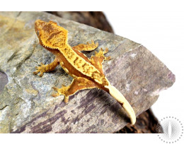 Red Pinstripe Harlequin Crested Gecko