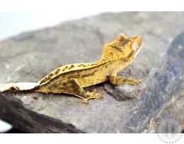 Cream Pinstripe Harlequin Crested Gecko