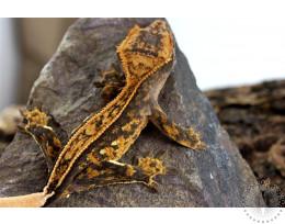 Pinstripe Extreme Harlequin Crested Gecko
