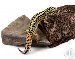 Bold Striped Leopard Gecko