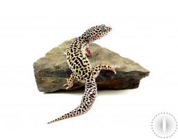 Super Mack Snow Leopard Gecko