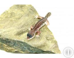 Mack Super Snow Leopard Gecko - Regen Tail