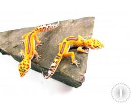 Albino Red Stripe Leopard Gecko