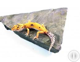 Albino Clown Leopard Gecko