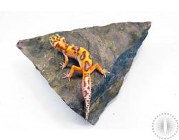 Albino Jungle Leopard Gecko