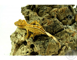 Extreme Tiger Pinstripe Crested Gecko