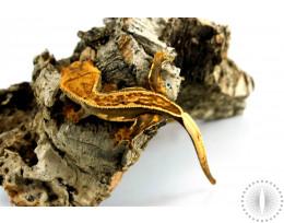 Chocolate Pinstripe Crested Gecko