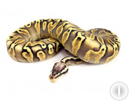 Pastel GHI Yellow Belly Ball Python