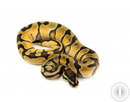 Enchi Orange Dream Het Pied Ball Python