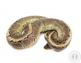 Pinstripe Het Pied Ball Python