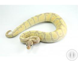 Fire Banana Ball Python