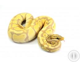 Pastel Banana Enchi Ball Python