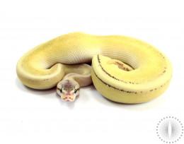 Pastel Lesser Genetic Stripe Spark Ball Python