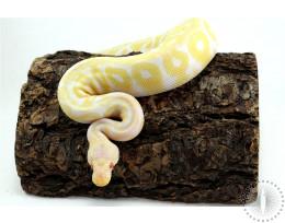 Pastel Albino Asphalt/Yellow Belly Het Red Axanthic Ball Python