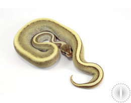 Lesser Genetic Stripe Spark Ball Python
