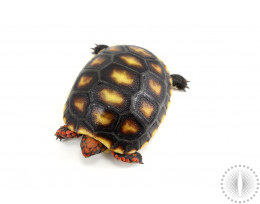 Red Foot Tortoise