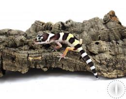 Mack Snow Leopard Gecko