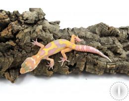 Godzilla Super Giant Tremper Albino Leopard Gecko
