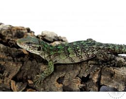Spiny Tailed (Clubtailed) Iguana - Male