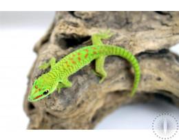 CB Madagascar Giant Day Gecko