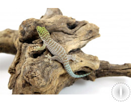 CB Standing's Day Gecko
