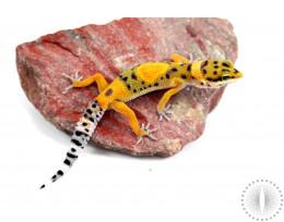 Calico Firefox Leopard Gecko