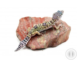 Montanus Leopard Gecko - Regenerated Tail