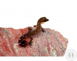 CB Cat Gecko