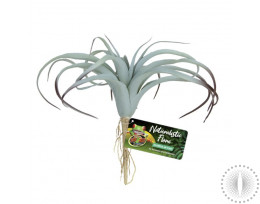 ZM Tillandsia Air Plant