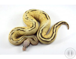 Pastel Gravel Spark Ball Python