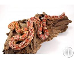 Corn Snake - Aztec