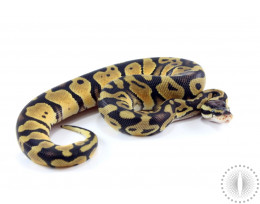 Pastel Blade Het Clown Ball Python