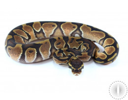 Black Pastel Enchi Ball Python