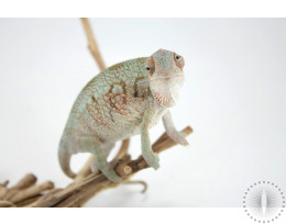Nose Be X Ambilobe Panther Chameleon