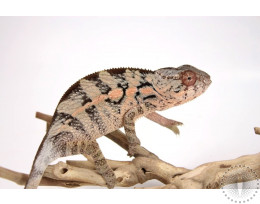 Nose Mitsio Panther Chameleon