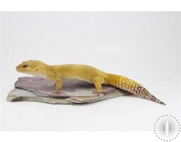 Bell Sunglow Leopard Gecko