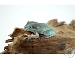 CB Baby White's Tree Frog