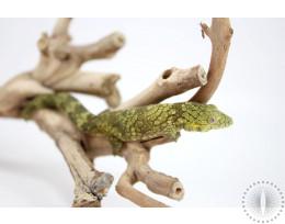 Bauer's Chameleon Gecko