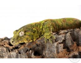Chahoua Gecko - Mainland