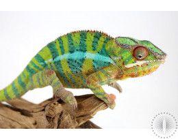 Blue Bar Ambilobe Panther Chameleon