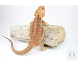 Red Hypo Bearded Dragon