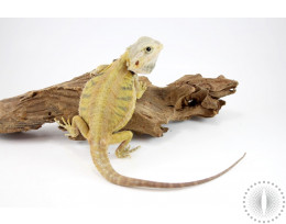 Yellow Leatherback Hypo Translucent Bearded Dragon