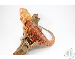 Hypo Red Bearded Dragon