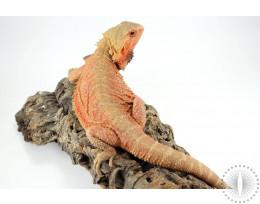Sandfire Translucent Bearded Dragon