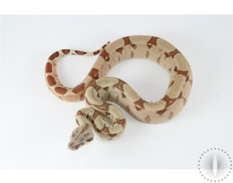 Salmon Colombian Boa