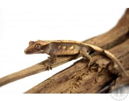 Pinstripe Harlequin Crested Gecko